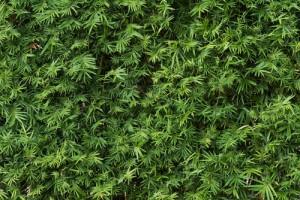 Bambushecke dicht