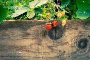 Erdbeeren wachsen über Zaun