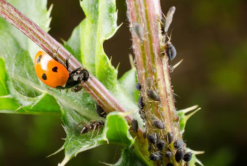 Mahlzeit! Ein Siebenpunkt-Marienkäfer auf der Jagd nach Blattläusen.