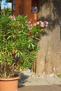 Der Oleander im Topf freut sich über ein Winterquartier und konstante 5 bis 10 Grad.